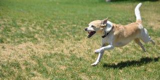 Um cão pequeno brincalhão que corre no parque Fotografia de Stock Royalty Free