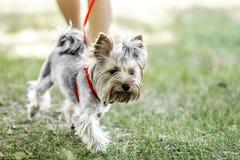Um cão pequeno do yorkshire terrier em uma caminhada com seu proprietário no dia de verão fotos de stock royalty free