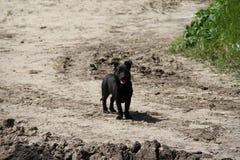 Um cão pequeno preto é fotos de stock