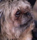 Um cão pequeno, vermelho da raça do pequinês O focinho de um cão pequeno do pequinês fotografia de stock royalty free