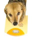 Um cão pesa Foto de Stock Royalty Free