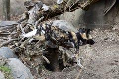 Um cão pintado africano imagens de stock
