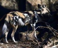 Um cão pintado africano #2 fotografia de stock royalty free