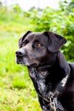 Um cão preto caseiro em uma trela imagens de stock