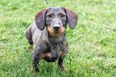 Um cão preto do bassê das raças ao andar no weather_ chuvoso imagem de stock royalty free