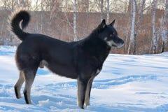 Um cão preto grande para uma caminhada nas madeiras Imagem de Stock