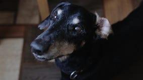 Um c?o preto velho com olhos nebulosos e um olhar lament?vel olha em linha reta na c?mera video estoque