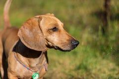 Um cão produz o bassê, na grama verde fotos de stock royalty free