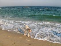 Um cão que agita fora da água após nadar no mar Foto de Stock