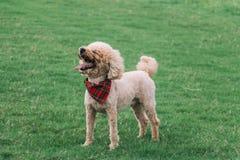 Um cão que enfrenta ao céu e feliz e ao sorriso na grama imagens de stock