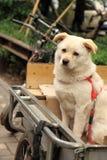 Um cão que espera seu Pequim China do proprietário Fotos de Stock Royalty Free