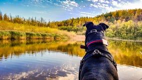 Um cão que olha sobre um lago Fotos de Stock Royalty Free
