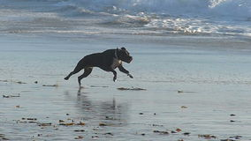 Um cão que persegue uma bola na praia no movimento lento video estoque