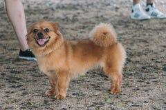 Um cão que sorri e que está fotografia de stock royalty free