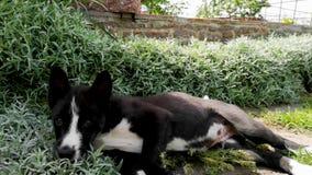 Um cão ronco da raça é jogado com um anfitrião da grama alta O conceito do inquietação com animais e jogos com eles video estoque
