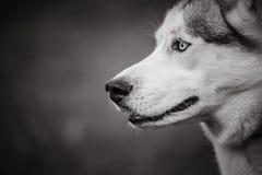 Um cão ronco em preto e branco em um fundo artístico borrado imagens de stock