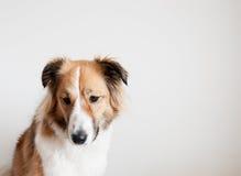 Um cão triste fotografia de stock royalty free