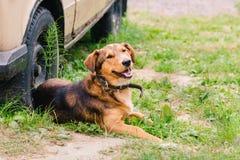 Um cão vermelho-marrom em um colar encontra-se na grama perto da roda de um carro velho foto de stock