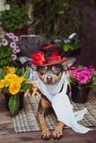 Um cão vestido como uma diva luxuoso, vestindo um chapéu e um lenço cercados por flores, fotos de stock