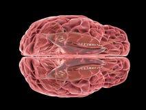 Um cérebro humano ilustração royalty free