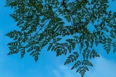 Um céu limpo através das folhas fotografia de stock royalty free