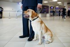 Um c?o de Labrador para detectar drogas na posi??o do aeroporto perto dos costumes guarda Vista horizontal fotos de stock