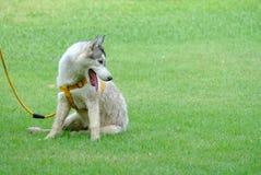 Um cachorrinho bonito do cão de puxar trenós de Sibéria que senta-se no campo de grama verde com língua para fora imagem de stock royalty free
