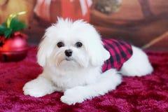 Um cachorrinho branco está enviando cumprimentos do feriado Imagens de Stock Royalty Free