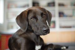 Um cachorrinho considerável, preto do laboratório imagem de stock royalty free