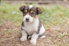 Um cachorrinho de dois meses da idade olha com cuidado algo imagem de stock