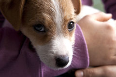 Um cachorrinho de Jack Russel Fotografia de Stock