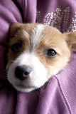 Um cachorrinho de Jack Russel Imagem de Stock