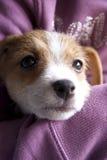 Um cachorrinho de Jack Russel Foto de Stock Royalty Free