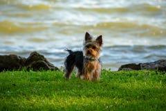 Um cachorrinho de Yorkie na borda das águas Fotografia de Stock Royalty Free