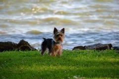 Um cachorrinho de Yorkie na borda das águas Imagens de Stock