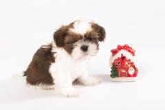 Um cachorrinho engraçado do shih-tzu com vela do Natal Fotos de Stock