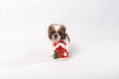 Um cachorrinho engraçado do shih-tzu com vela do Natal Imagens de Stock Royalty Free
