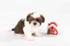 Um cachorrinho engraçado do shih-tzu com vela do Natal Fotografia de Stock