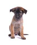 Um cachorrinho escuro de sorriso bonito do chocolate Fotografia de Stock