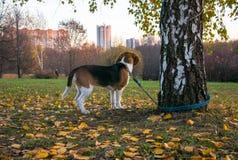 Um cachorrinho esperto do lebreiro em uma caminhada no parque da cidade O cachorrinho Tricolor do lebreiro está olhando uma paisa fotos de stock
