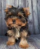 Um cachorrinho no assoalho Foto de Stock