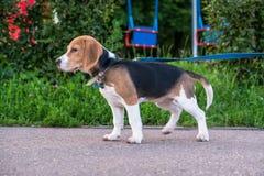 Um cachorrinho pensativo do lebreiro com uma trela azul em uma caminhada em um parque da cidade Retrato de um cachorrinho agradáv fotografia de stock royalty free