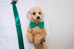 Um cachorrinho pequeno da caniche imagens de stock royalty free