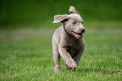 Um cachorrinho pequeno de Labrador est? jogando fora imagens de stock