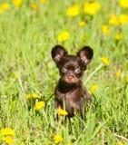 Um cachorrinho pequeno que senta-se na grama verde Brinquedo do russo foto de stock royalty free