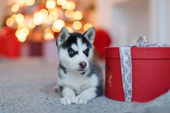Um cachorrinho ronco preto e branco bonito pequeno encontra-se no presente vermelho, b Imagem de Stock