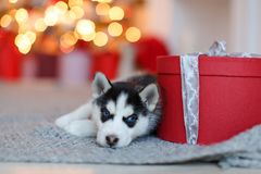 Um cachorrinho ronco preto e branco bonito pequeno encontra-se no presente vermelho, b fotografia de stock royalty free