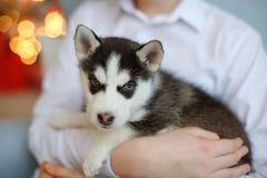Um cachorrinho ronco preto e branco pequeno senta-se em suas mãos, atrás do th Imagens de Stock Royalty Free