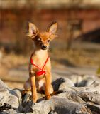 Um cachorrinho ruivo está em um coto de madeira Um cão com uma corda vermelha em torno de seu pescoço levanta fora em um dia enso Fotografia de Stock