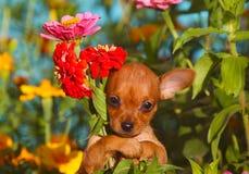 Um cachorrinho ruivo guarda um ramalhete de flores bonitas brilhantes Fotos de Stock